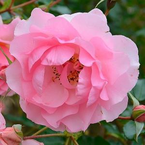 Роза Розарио