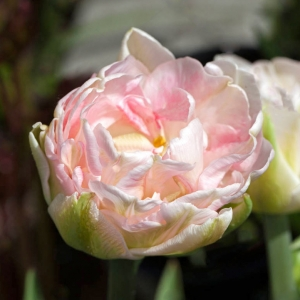 Тюльпан Финола