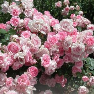 Роза Бордюр Роуз