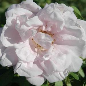 Роза Сноу Павемент