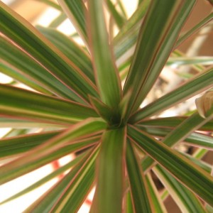 Indoor Plants Dracaena Plant Care And Cultivation Indoor Plants