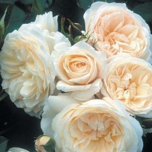 Роза Парки