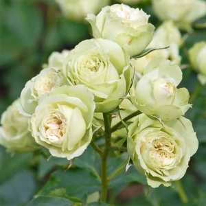 Роза Лавли Грин штамбовая
