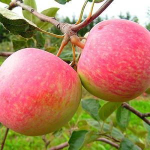 Яблоня летняя Конфетное