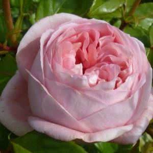 Роза Вояж