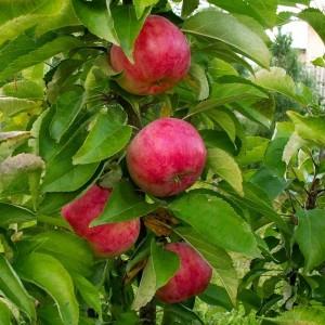 Яблоня Обелиск (узкопирамидальная)