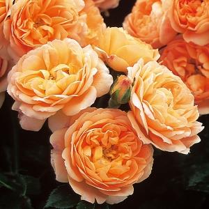 Роза Свит Дрим штамбовая