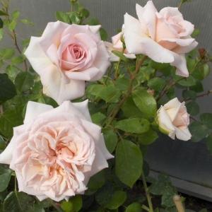 Роза Пенни Лейн