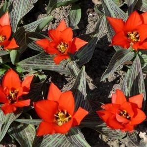 Тюльпан Али Баба