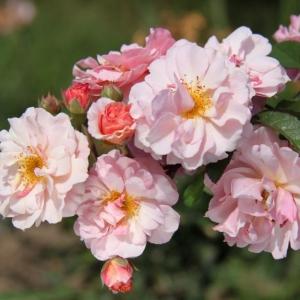 Роза Корнелия