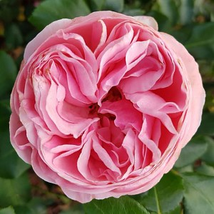 Роза Джиардина TANTAU