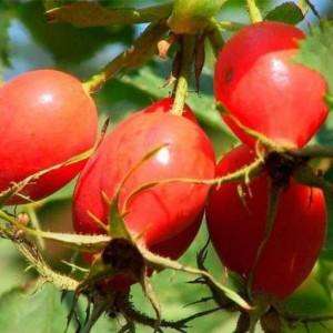 Шиповник садовый Яблочный