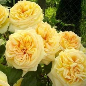 Роза Голден Тауэр
