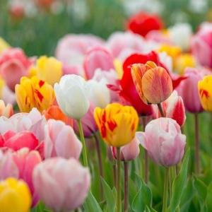 Тюльпаны гибридные, смесь