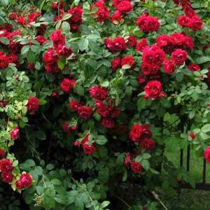 Роза Флуоресцент
