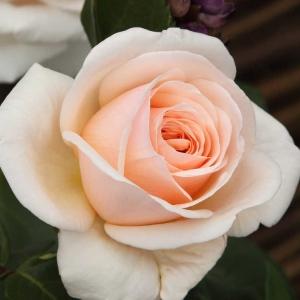 Роза Кураж