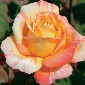 Роза Марвелл