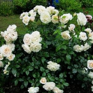 Роза Лайонс Роуз