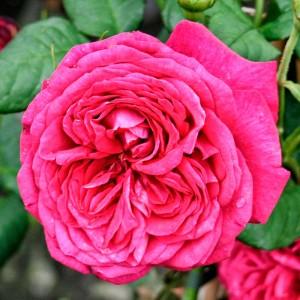 Роза Иоганн Вольфганг фон Гете