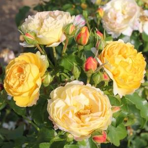 Роза Шато де Шеверни