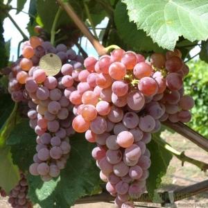 Виноград Рилайнс