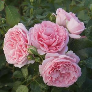 Роза Комтесс де Сегур штамбовая