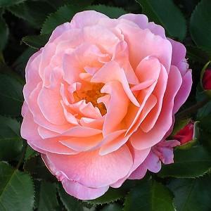 Роза Мария Кюри MEILLAND