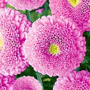 Астра Пампушка мармеладная помпонная, розовая