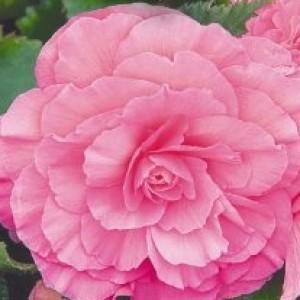 Бегония Гоу-гоу розовая F1 в гранулах (серия Русский богатырь)