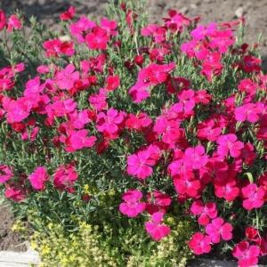 Гвоздика травянка Бриллиант (сер. Альпийская горка)