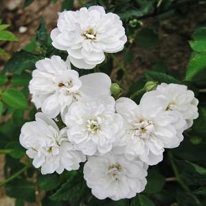 Роза штамбовая Франсин Остин