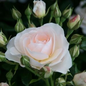 Роза Сириус