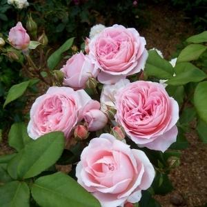 Роза Анна-Софи Пик