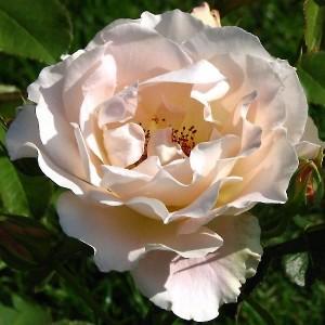 Роза штамбовая Рококо