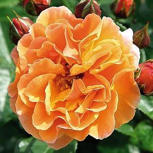 Роза Арабиа TANTAU