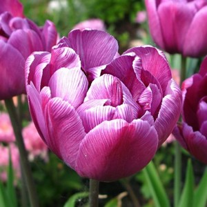 Тюльпан Блю Даймонд