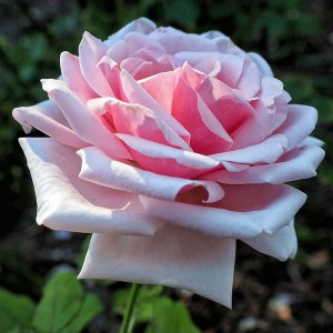 Роза Отель Савой