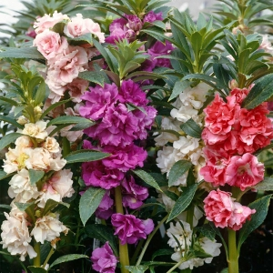 Бальзамин Камелия садовый