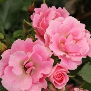 Роза Розелина