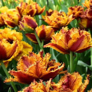 Тюльпан Бастиа