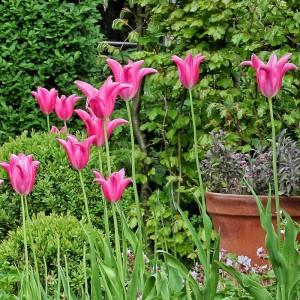 Тюльпан Мариетта