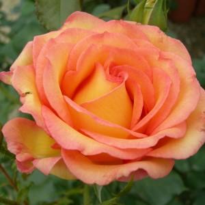 Роза Роуз де Мон Марсан