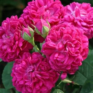 Роза Роуз де Решт штамбовая