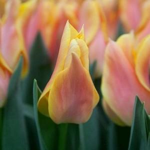 Тюльпан Марианна