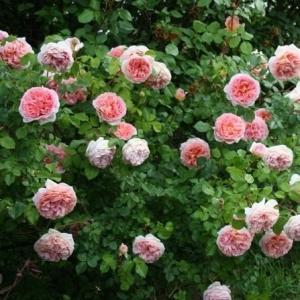 Роза Загадка (Шраб, розовая)