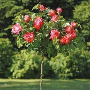 Роза штамбовая Императрица Фарах