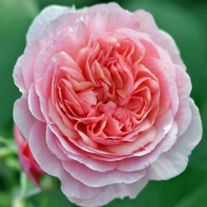 Роза Эвиге Пасси