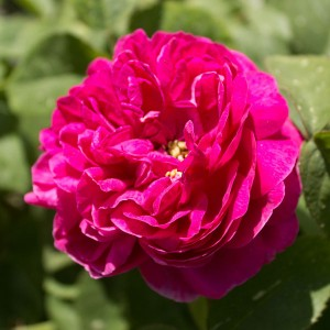 Роза штамбовая Роуз де Решт
