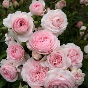 Роза Лариса