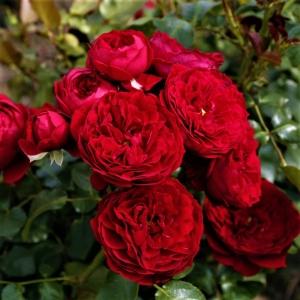 Роза Руткапчен